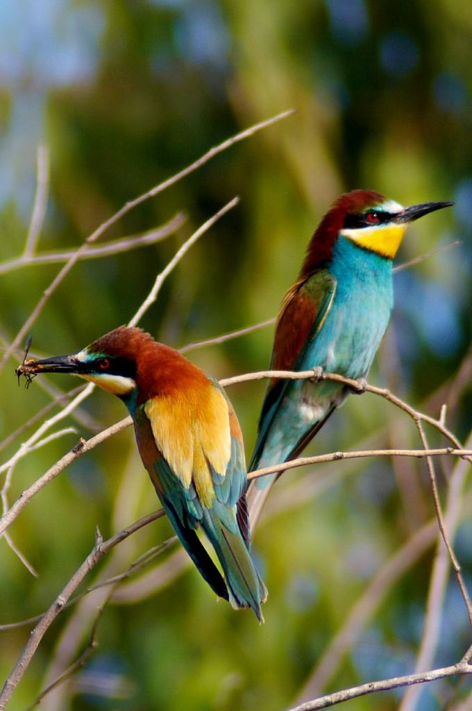 Abelharuco - Merops apiaster