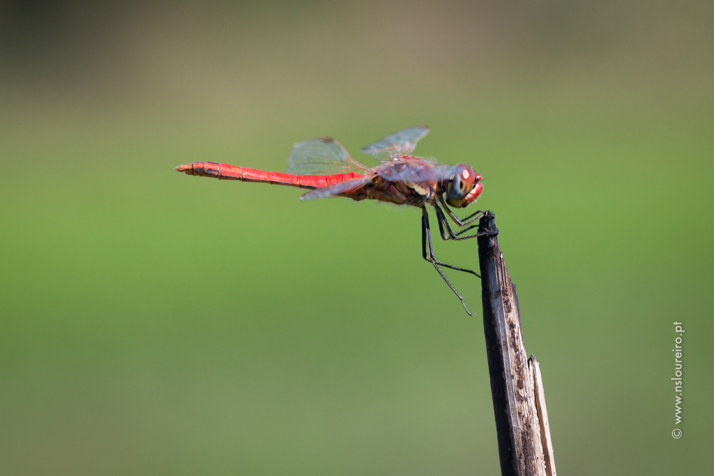 Sympetrum fonscolombii 2